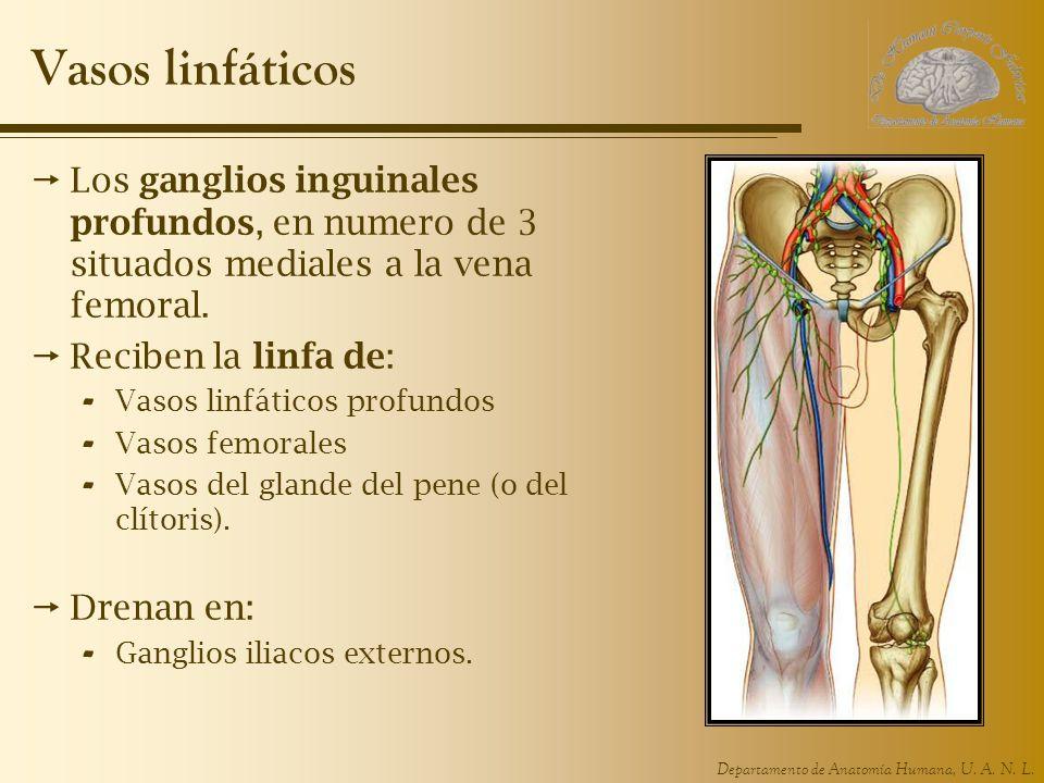 Departamento de Anatomía Humana, U. A. N. L. Vasos linfáticos Los ganglios inguinales profundos, en numero de 3 situados mediales a la vena femoral. R