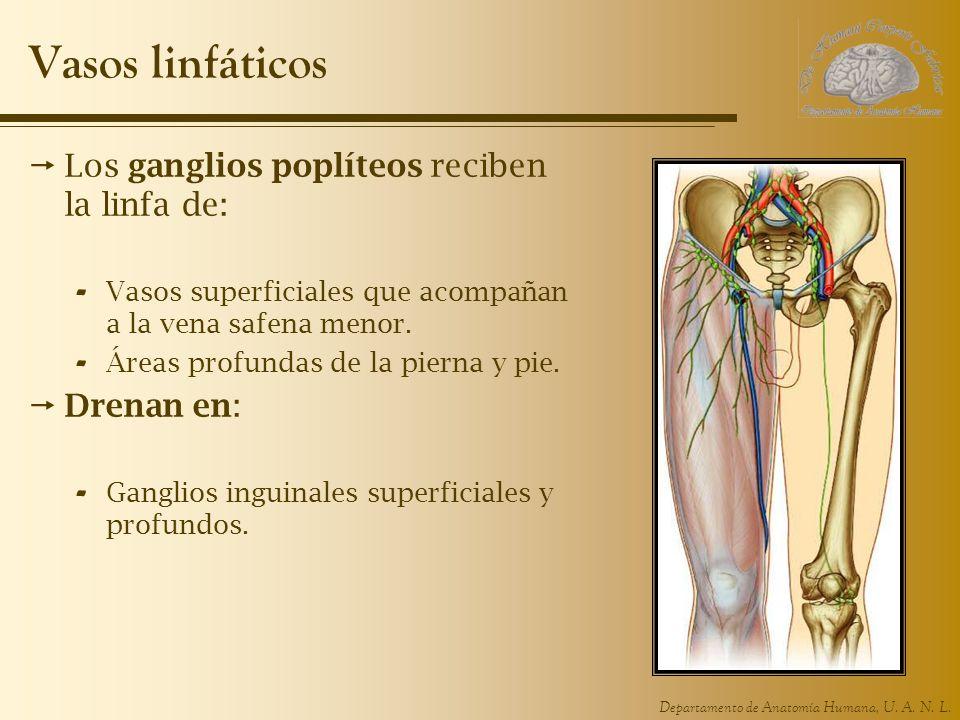 Departamento de Anatomía Humana, U. A. N. L. Vasos linfáticos Los ganglios poplíteos reciben la linfa de: - Vasos superficiales que acompañan a la ven