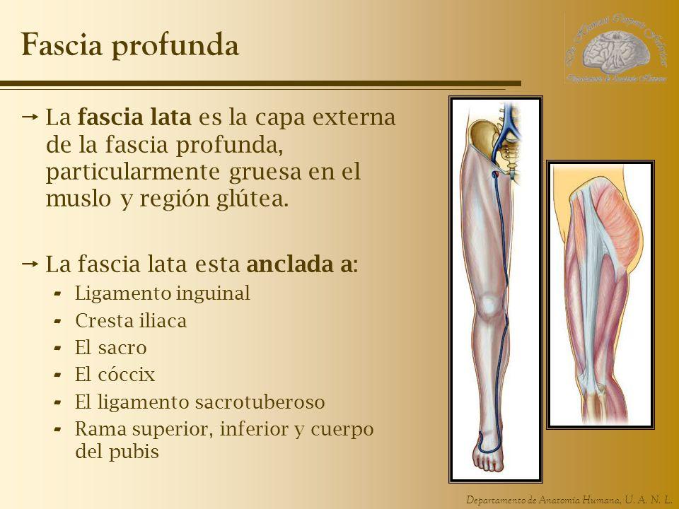 Departamento de Anatomía Humana, U. A. N. L. Fascia profunda La fascia lata es la capa externa de la fascia profunda, particularmente gruesa en el mus