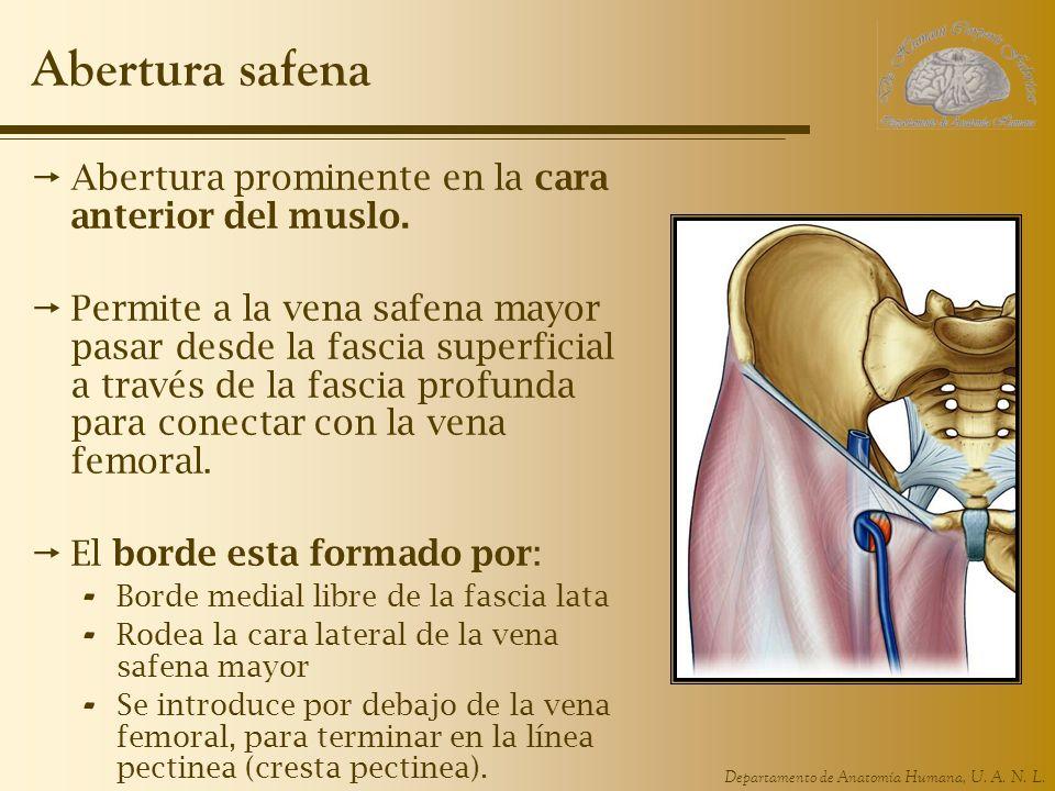 Departamento de Anatomía Humana, U. A. N. L. Abertura safena Abertura prominente en la cara anterior del muslo. Permite a la vena safena mayor pasar d