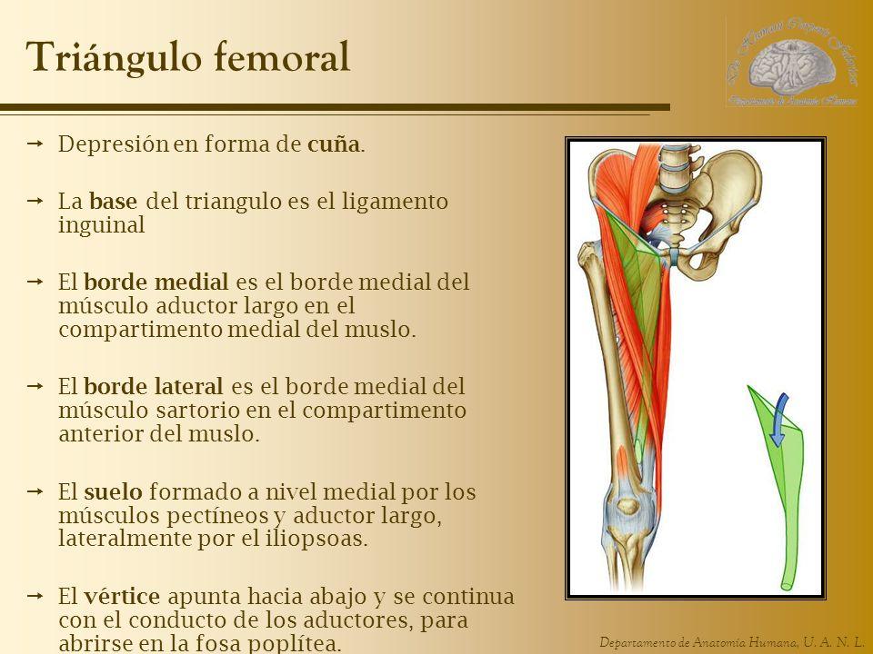 Departamento de Anatomía Humana, U. A. N. L. Triángulo femoral Depresión en forma de cuña. La base del triangulo es el ligamento inguinal El borde med