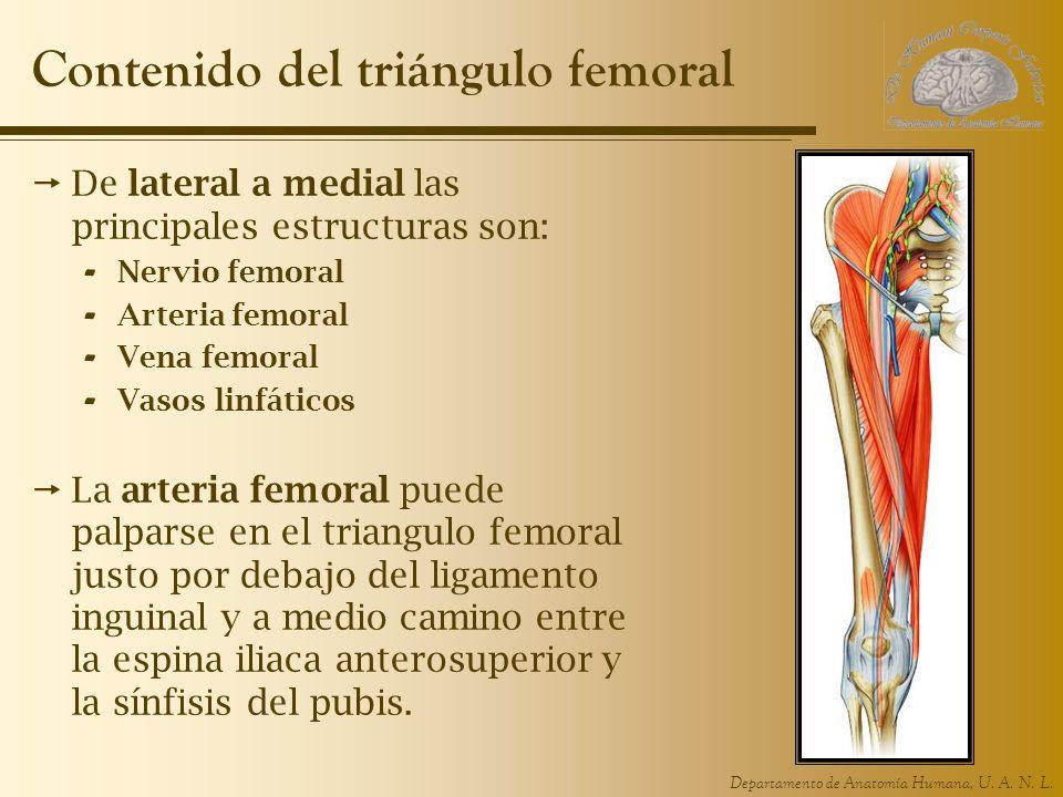 Departamento de Anatomía Humana, U. A. N. L. Contenido del triángulo femoral De lateral a medial las principales estructuras son: - Nervio femoral - A