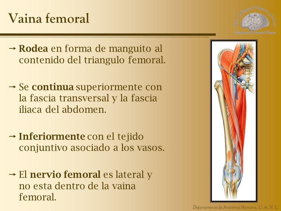 Departamento de Anatomía Humana, U. A. N. L. Vaina femoral Rodea en forma de manguito al contenido del triangulo femoral. Se continua superiormente co