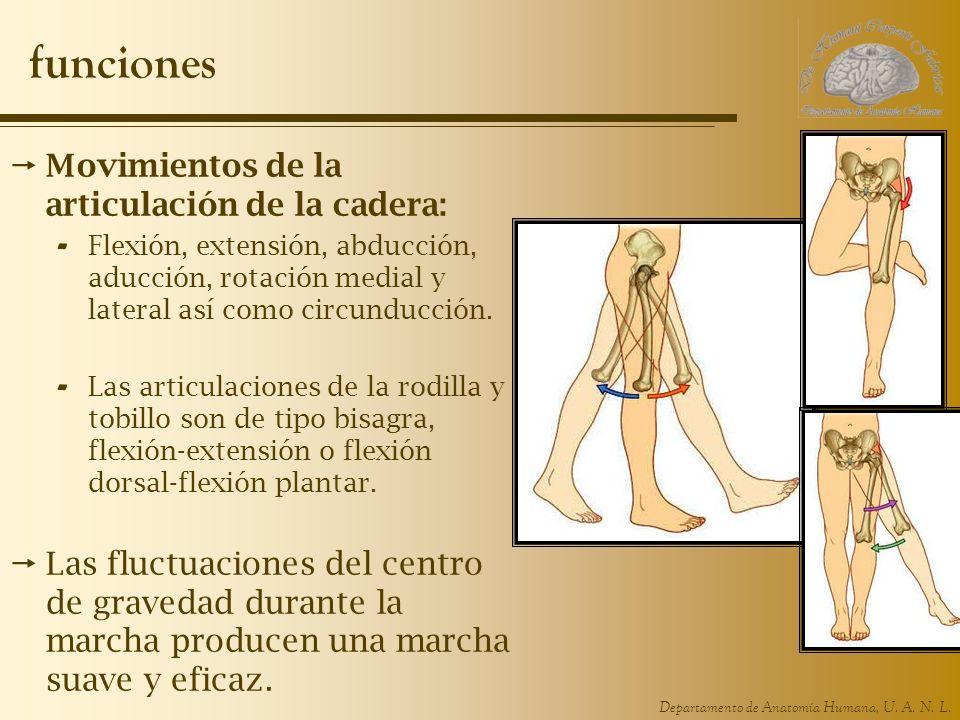 Departamento de Anatomía Humana, U. A. N. L. funciones Movimientos de la articulación de la cadera: - Flexión, extensión, abducción, aducción, rotació