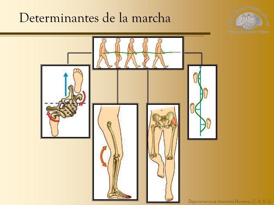 Departamento de Anatomía Humana, U. A. N. L. Determinantes de la marcha