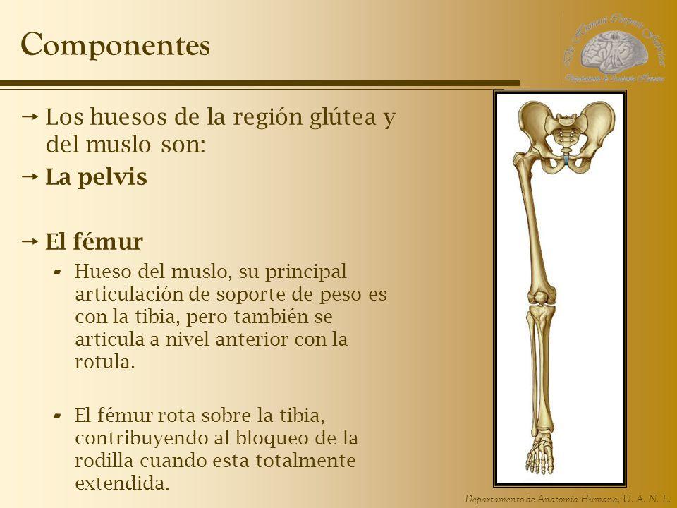 Departamento de Anatomía Humana, U. A. N. L. Componentes Los huesos de la región glútea y del muslo son: La pelvis El fémur - Hueso del muslo, su prin