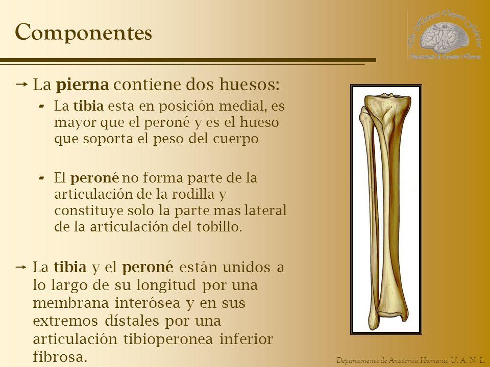 Departamento de Anatomía Humana, U. A. N. L. Componentes La pierna contiene dos huesos: - La tibia esta en posición medial, es mayor que el peroné y e