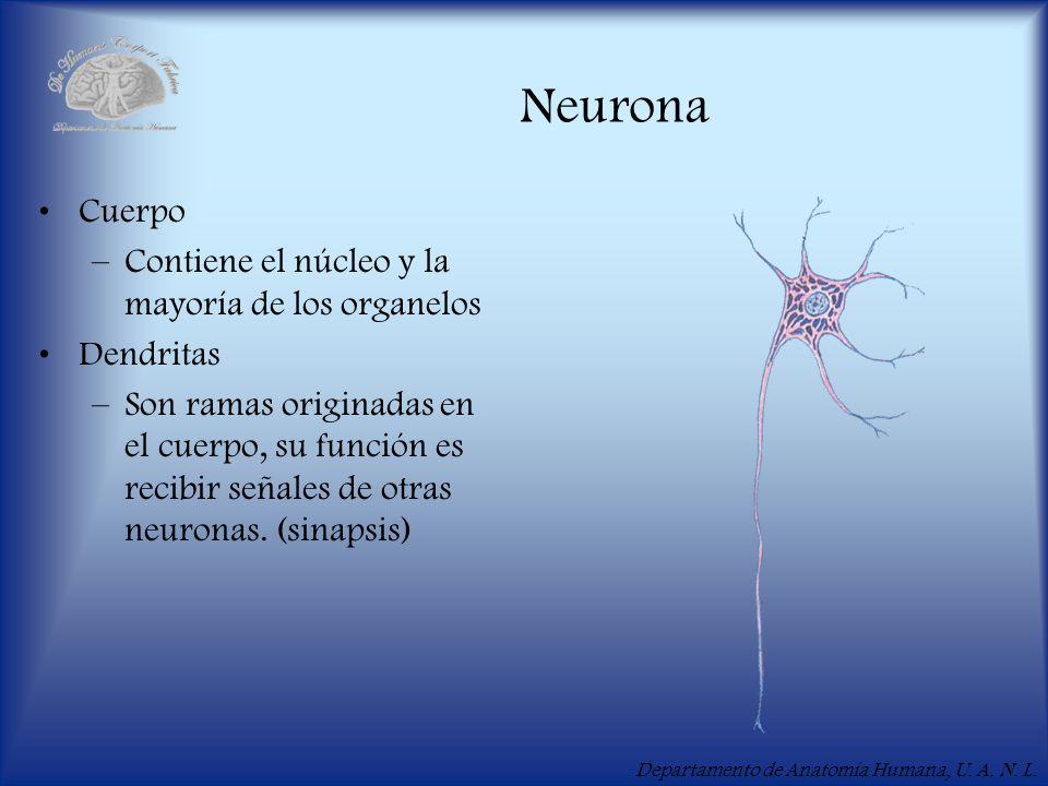 Departamento de Anatomía Humana, U. A. N. L. Neurona Cuerpo –Contiene el núcleo y la mayoría de los organelos Dendritas –Son ramas originadas en el cu