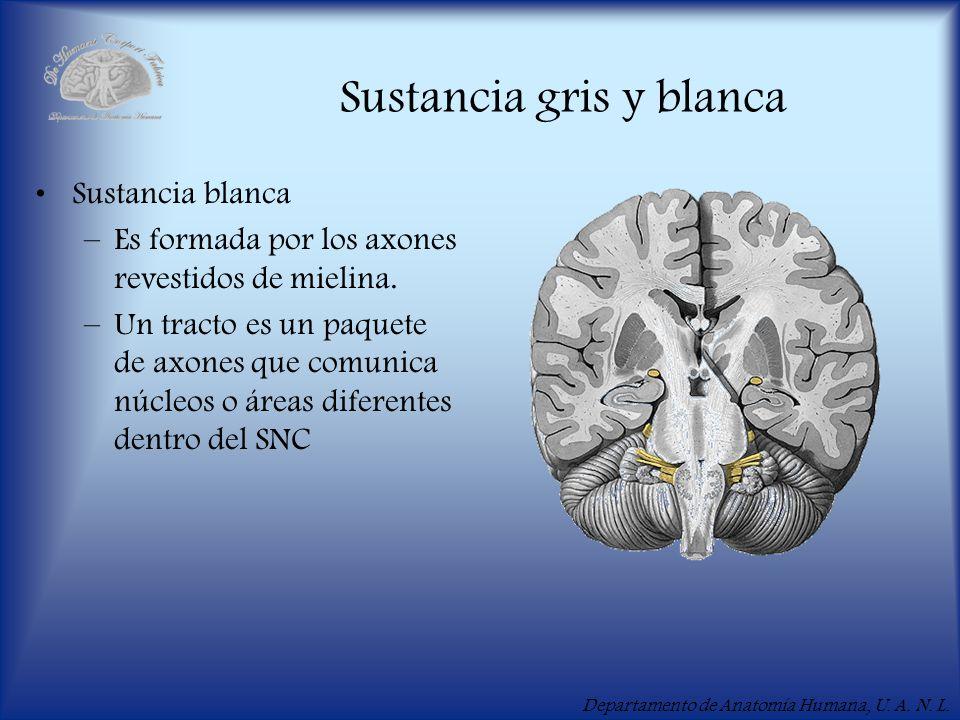 Departamento de Anatomía Humana, U. A. N. L. Sustancia gris y blanca Sustancia blanca –Es formada por los axones revestidos de mielina. –Un tracto es