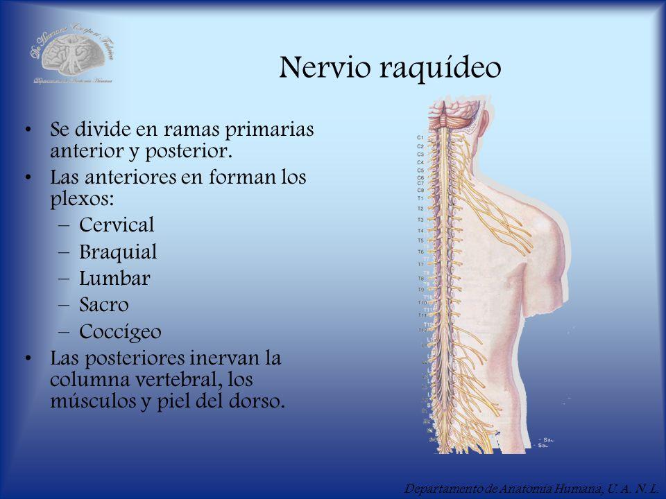 Departamento de Anatomía Humana, U. A. N. L. Nervio raquídeo Se divide en ramas primarias anterior y posterior. Las anteriores en forman los plexos: –