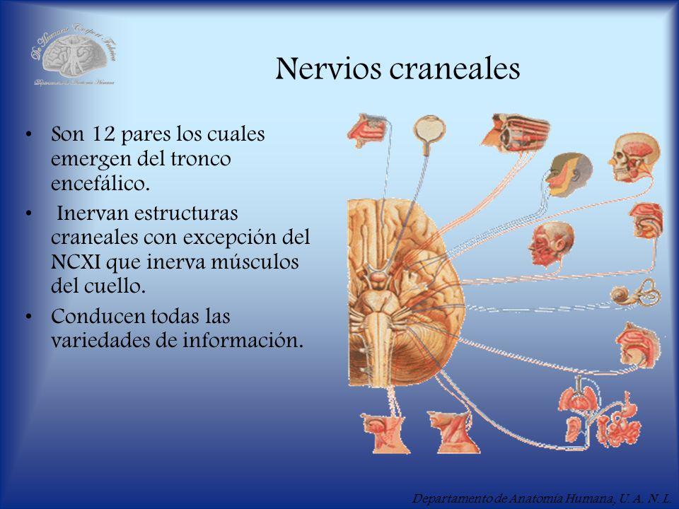 Departamento de Anatomía Humana, U. A. N. L. Nervios craneales Son 12 pares los cuales emergen del tronco encefálico. Inervan estructuras craneales co