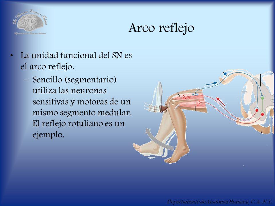 Departamento de Anatomía Humana, U. A. N. L. Arco reflejo La unidad funcional del SN es el arco reflejo. –Sencillo (segmentario) utiliza las neuronas