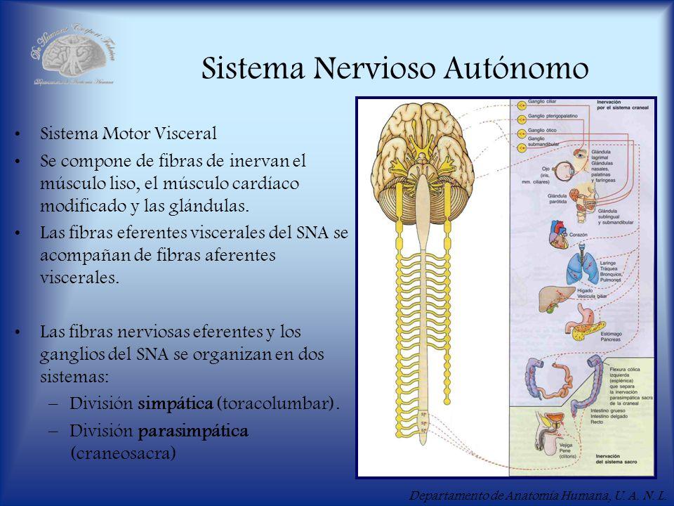 Departamento de Anatomía Humana, U. A. N. L. Sistema Nervioso Autónomo Sistema Motor Visceral Se compone de fibras de inervan el músculo liso, el músc
