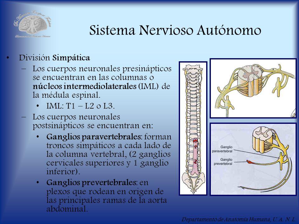 Departamento de Anatomía Humana, U. A. N. L. Sistema Nervioso Autónomo División Simpática –Los cuerpos neuronales presinápticos se encuentran en las c