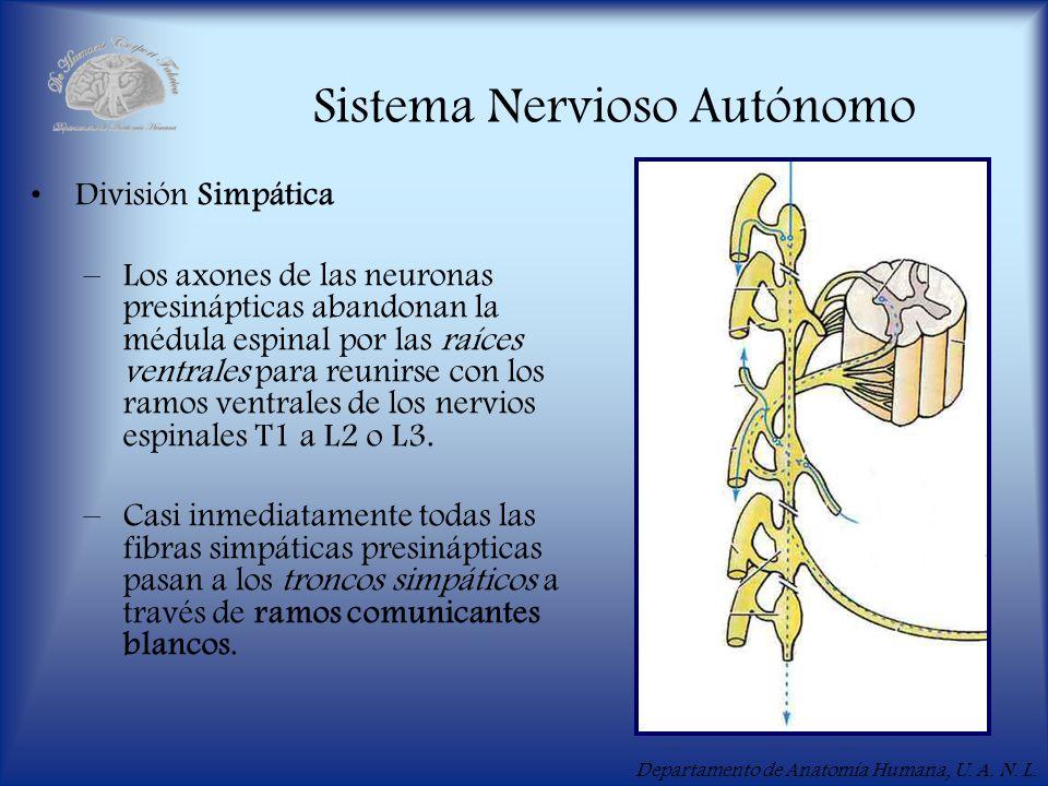 Departamento de Anatomía Humana, U. A. N. L. Sistema Nervioso Autónomo División Simpática –Los axones de las neuronas presinápticas abandonan la médul