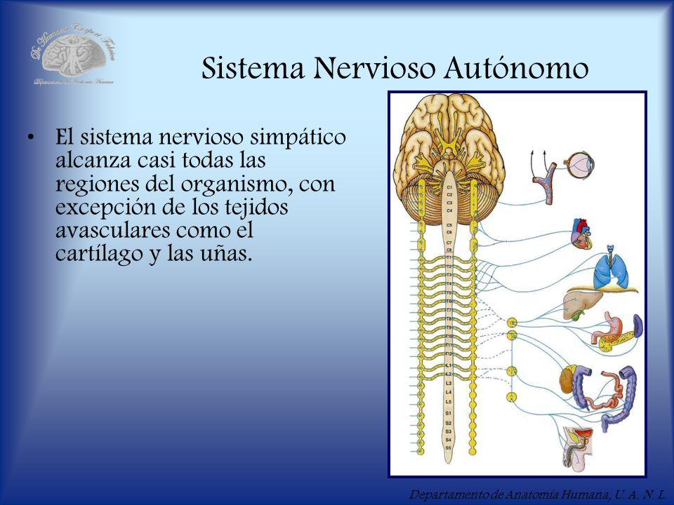 Departamento de Anatomía Humana, U. A. N. L. Sistema Nervioso Autónomo El sistema nervioso simpático alcanza casi todas las regiones del organismo, co