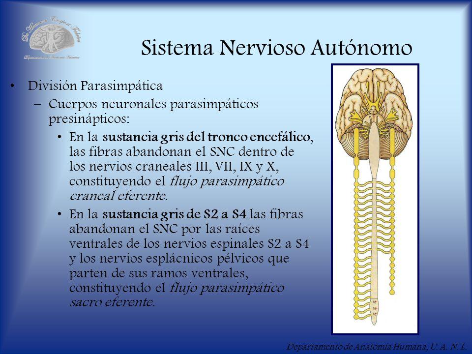 Departamento de Anatomía Humana, U. A. N. L. Sistema Nervioso Autónomo División Parasimpática –Cuerpos neuronales parasimpáticos presinápticos: En la