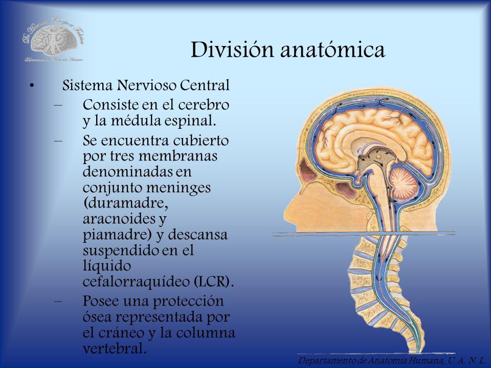 Departamento de Anatomía Humana, U. A. N. L. División anatómica Sistema Nervioso Central –Consiste en el cerebro y la médula espinal. –Se encuentra cu