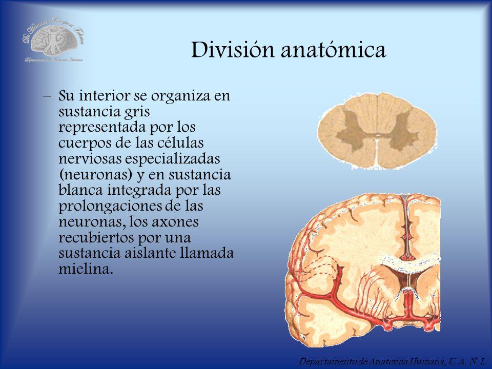 Departamento de Anatomía Humana, U. A. N. L. División anatómica –Su interior se organiza en sustancia gris representada por los cuerpos de las células