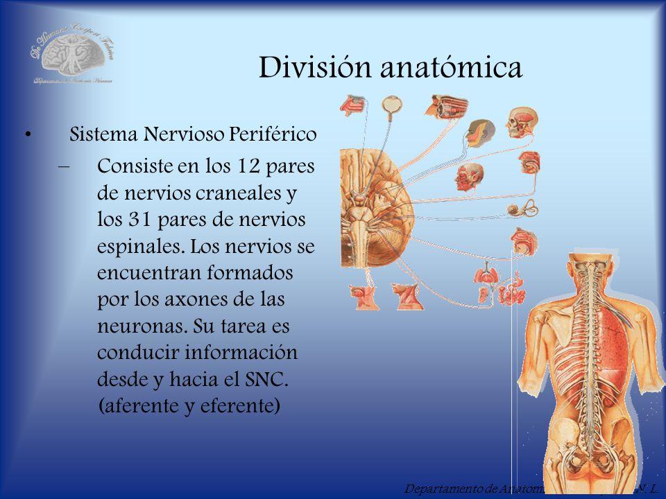 Departamento de Anatomía Humana, U. A. N. L. División anatómica Sistema Nervioso Periférico –Consiste en los 12 pares de nervios craneales y los 31 pa