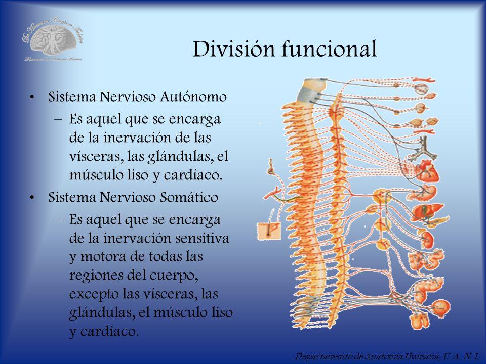 Departamento de Anatomía Humana, U. A. N. L. División funcional Sistema Nervioso Autónomo –Es aquel que se encarga de la inervación de las vísceras, l
