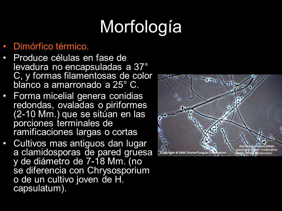 Morfología Dimórfico térmico. Produce células en fase de levadura no encapsuladas a 37° C, y formas filamentosas de color blanco a amarronado a 25° C.