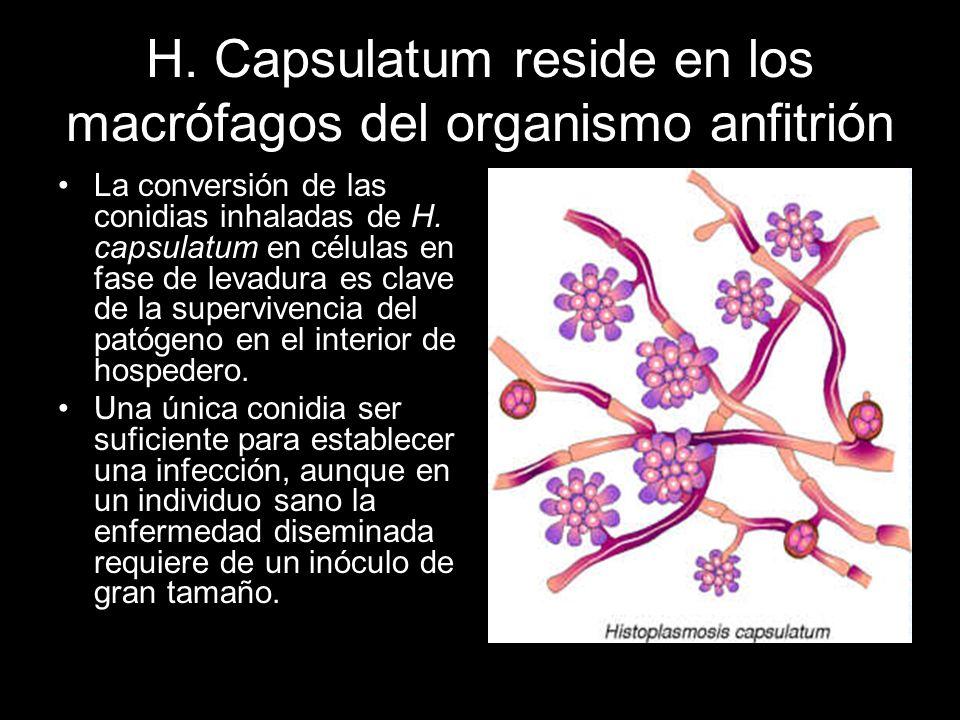 H. Capsulatum reside en los macrófagos del organismo anfitrión La conversión de las conidias inhaladas de H. capsulatum en células en fase de levadura