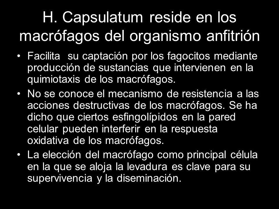 H. Capsulatum reside en los macrófagos del organismo anfitrión Facilita su captación por los fagocitos mediante producción de sustancias que intervien