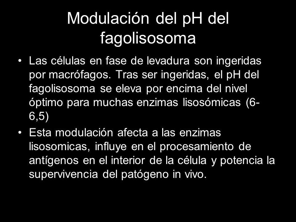 Modulación del pH del fagolisosoma Las células en fase de levadura son ingeridas por macrófagos. Tras ser ingeridas, el pH del fagolisosoma se eleva p