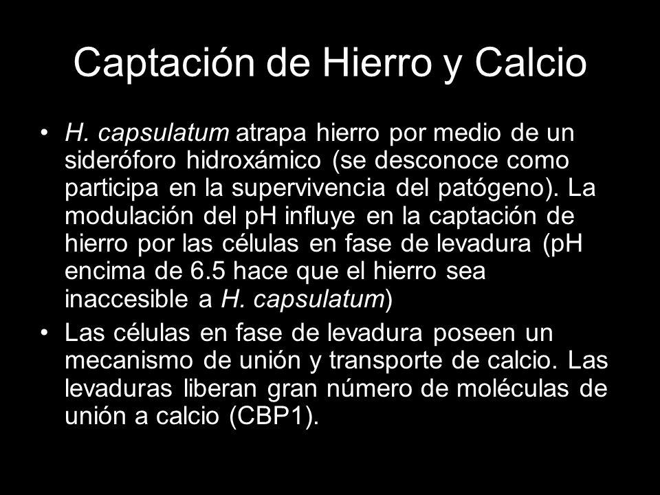 Captación de Hierro y Calcio H. capsulatum atrapa hierro por medio de un sideróforo hidroxámico (se desconoce como participa en la supervivencia del p