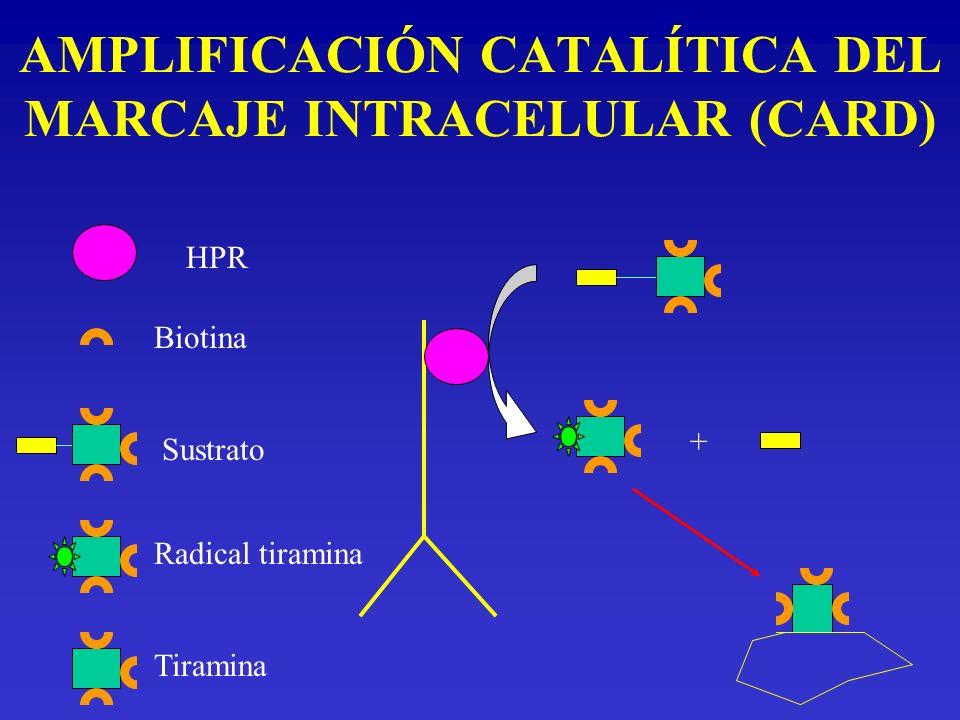 AMPLIFICACIÓN CATALÍTICA DEL MARCAJE INTRACELULAR (CARD) Sustrato Radical tiramina Tiramina + Biotina HPR