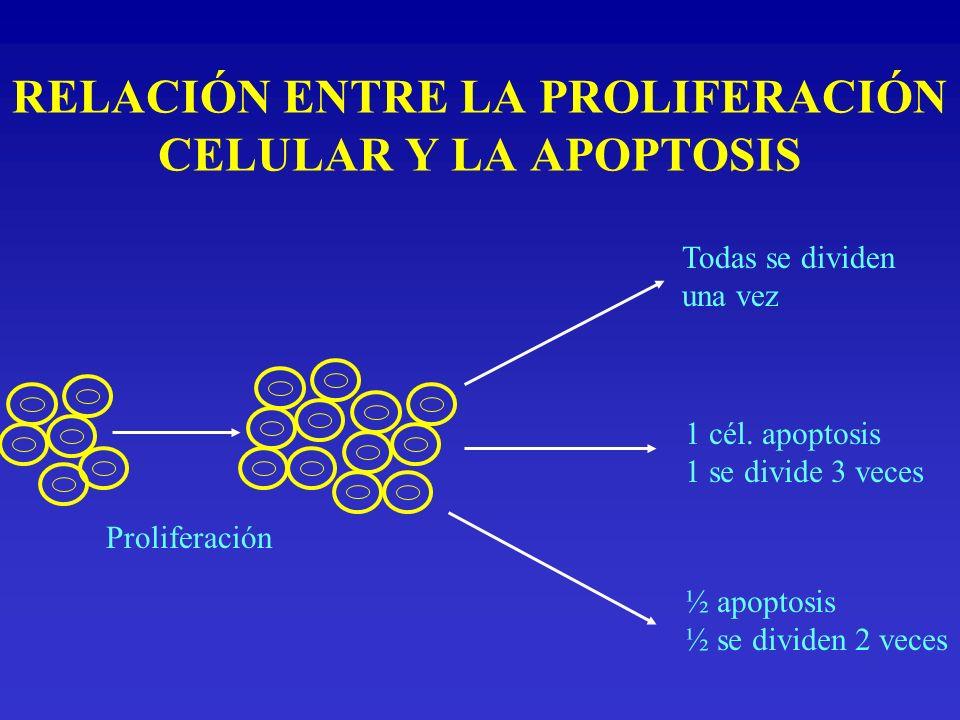 RELACIÓN ENTRE LA PROLIFERACIÓN CELULAR Y LA APOPTOSIS Proliferación Todas se dividen una vez 1 cél. apoptosis 1 se divide 3 veces ½ apoptosis ½ se di