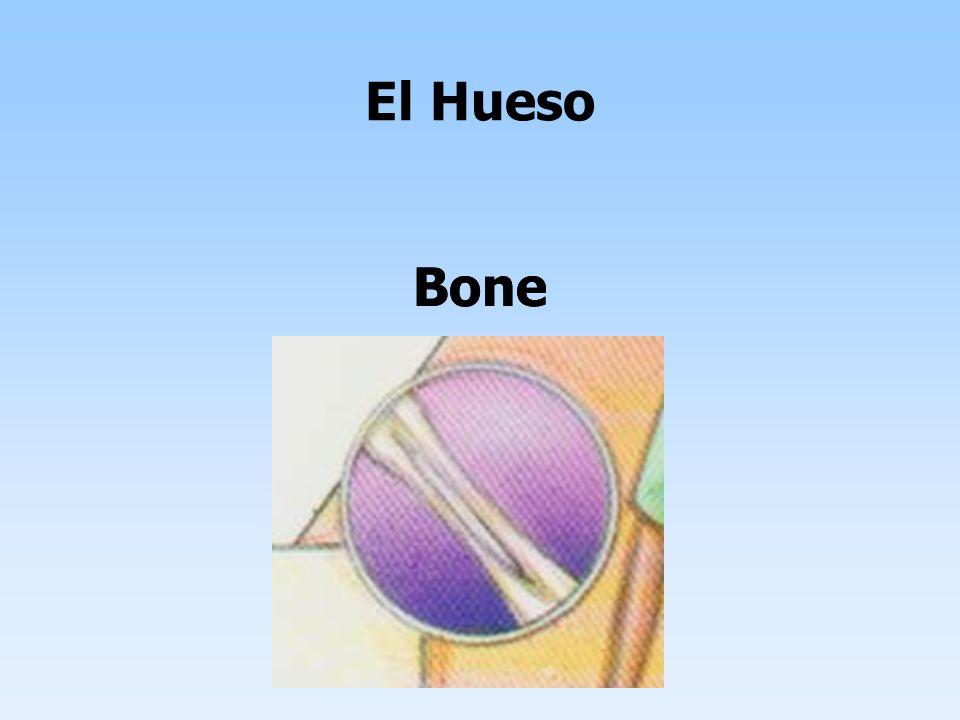 Bone El Hueso