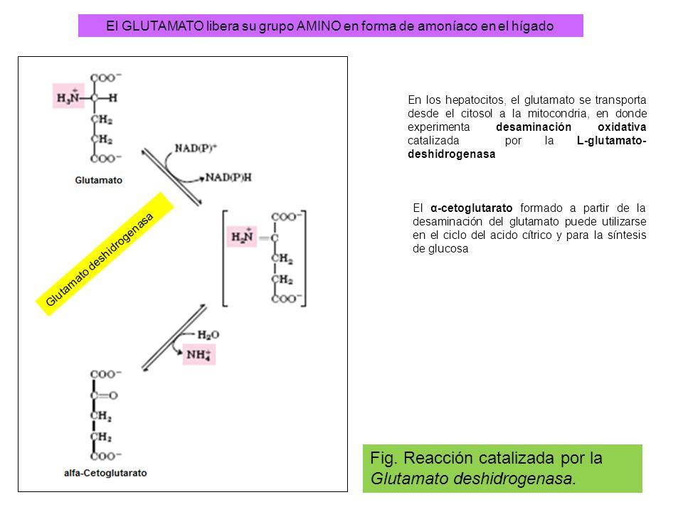 El GLUTAMATO libera su grupo AMINO en forma de amoníaco en el hígado Fig. Reacción catalizada por la Glutamato deshidrogenasa. Glutamato deshidrogenas