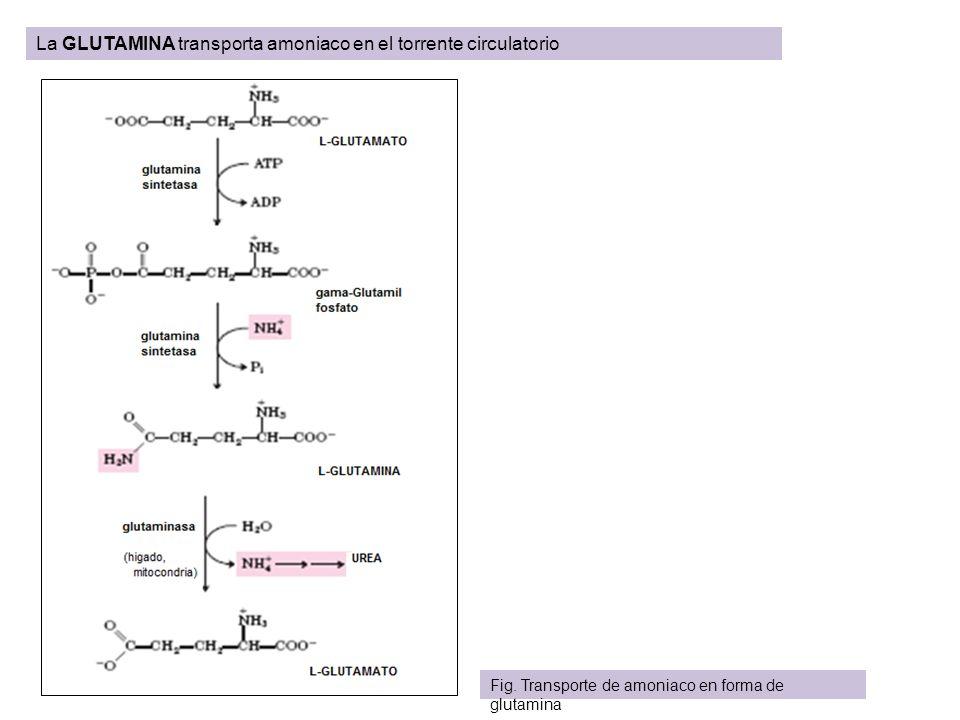 La GLUTAMINA transporta amoniaco en el torrente circulatorio Fig. Transporte de amoniaco en forma de glutamina