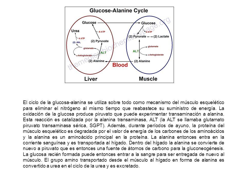 El ciclo de la glucosa-alanina se utiliza sobre todo como mecanismo del músculo esquelético para eliminar el nitrógeno al mismo tiempo que reabastece