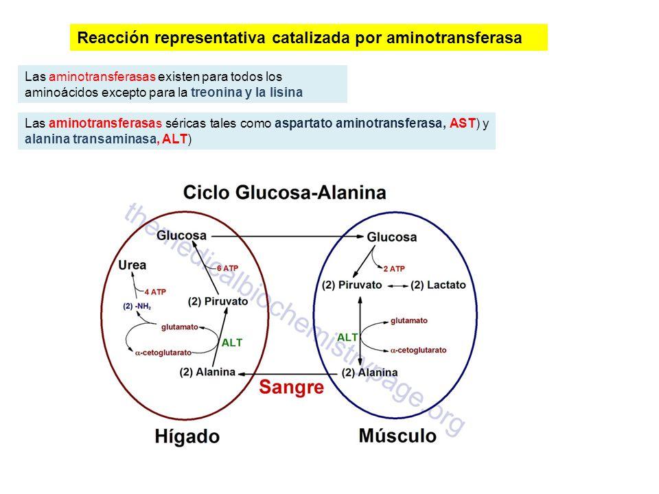 Reacción representativa catalizada por aminotransferasa Las aminotransferasas existen para todos los aminoácidos excepto para la treonina y la lisina