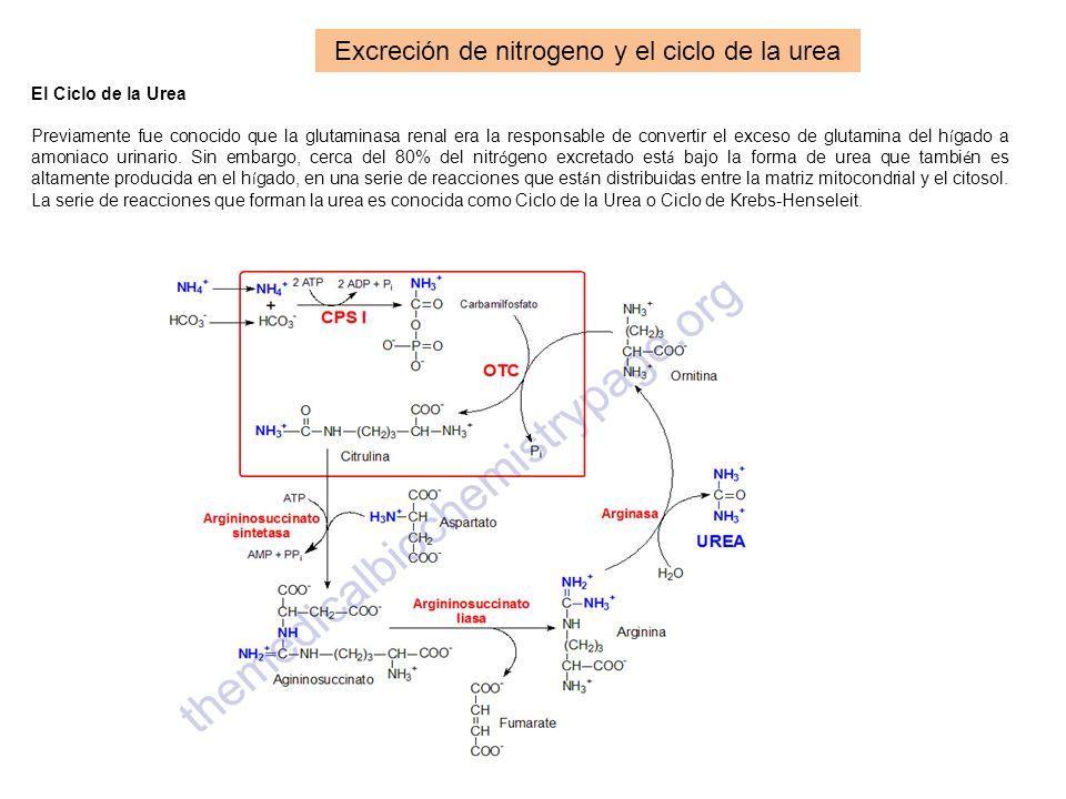 Excreción de nitrogeno y el ciclo de la urea El Ciclo de la Urea Previamente fue conocido que la glutaminasa renal era la responsable de convertir el