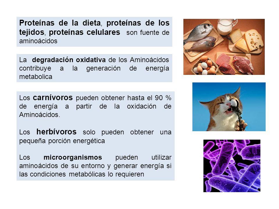 La degradación oxidativa de los Aminoácidos contribuye a la generación de energía metabolica Proteínas de la dieta, proteínas de los tejidos, proteína