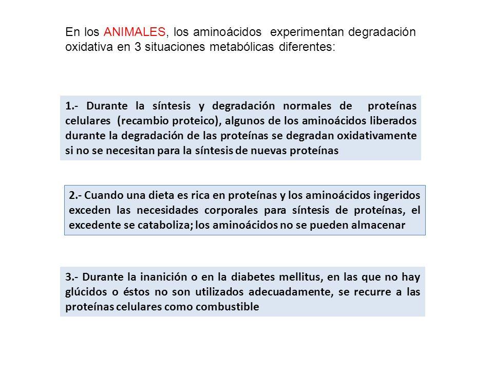 En los ANIMALES, los aminoácidos experimentan degradación oxidativa en 3 situaciones metabólicas diferentes: 1.- Durante la síntesis y degradación nor