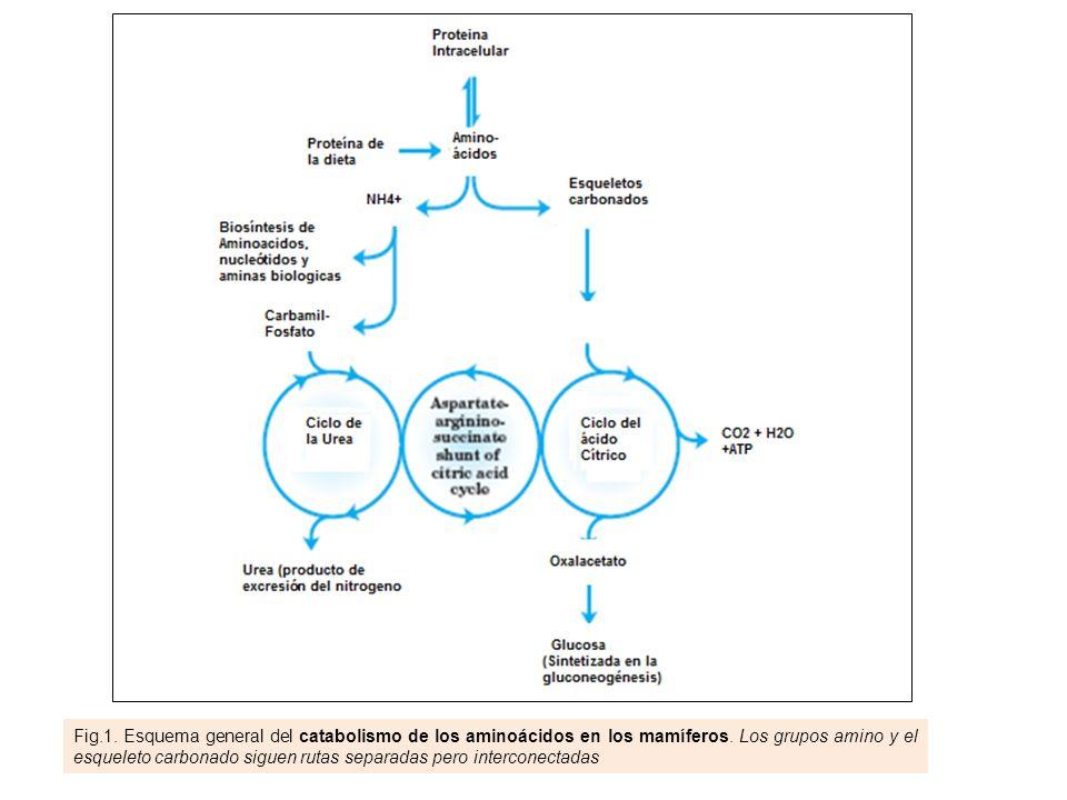 Fig.1. Esquema general del catabolismo de los aminoácidos en los mamíferos. Los grupos amino y el esqueleto carbonado siguen rutas separadas pero inte