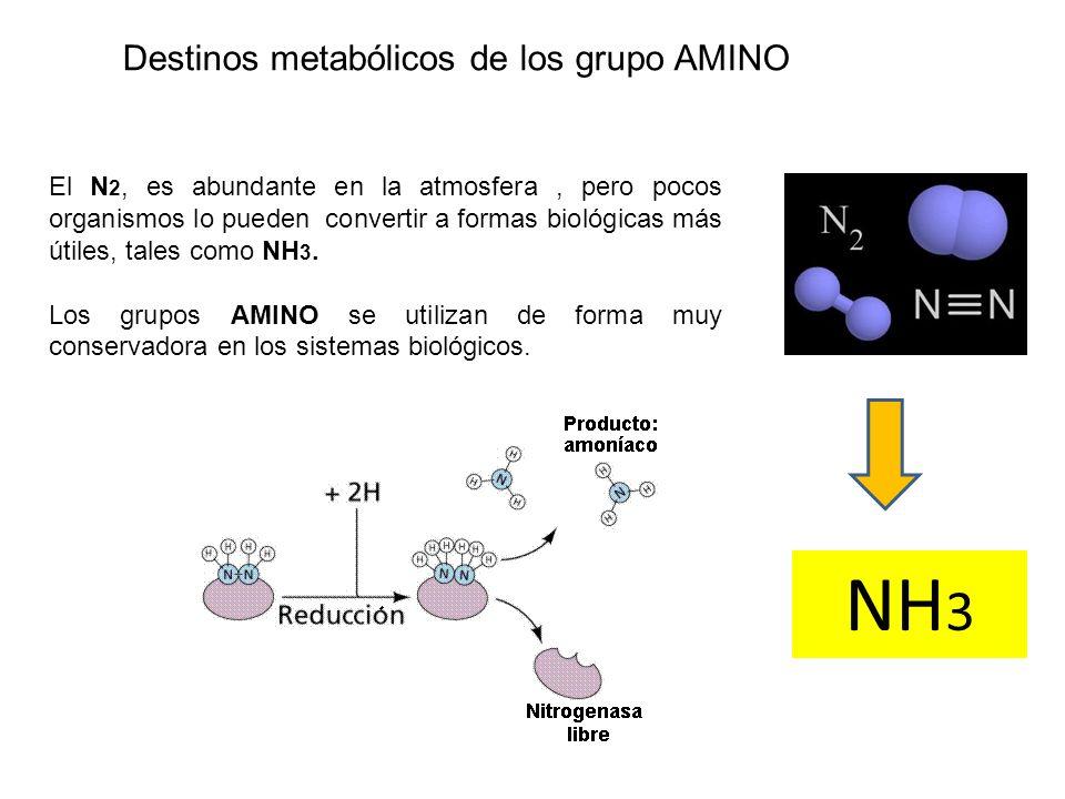 Destinos metabólicos de los grupo AMINO El N 2, es abundante en la atmosfera, pero pocos organismos lo pueden convertir a formas biológicas más útiles