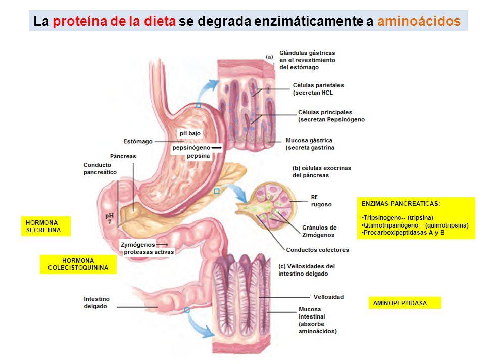 La proteína de la dieta se degrada enzimáticamente a aminoácidos HORMONA SECRETINA HORMONA COLECISTOQUININA ENZIMAS PANCREATICAS: Tripsinogeno-- (trip