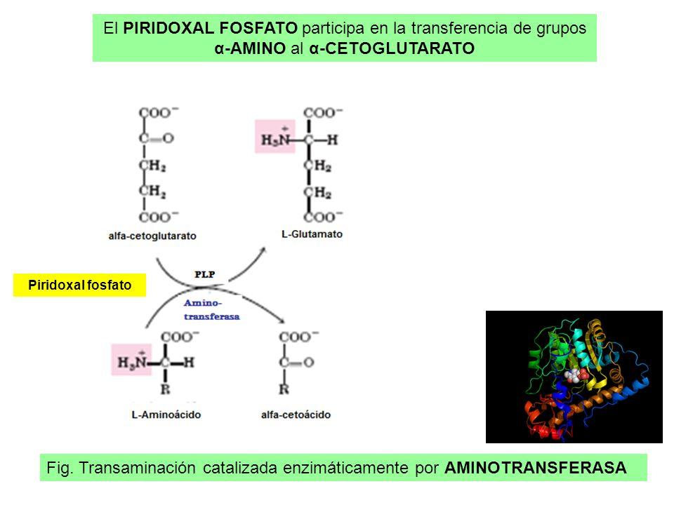 El PIRIDOXAL FOSFATO participa en la transferencia de grupos α-AMINO al α-CETOGLUTARATO Fig. Transaminación catalizada enzimáticamente por AMINOTRANSF