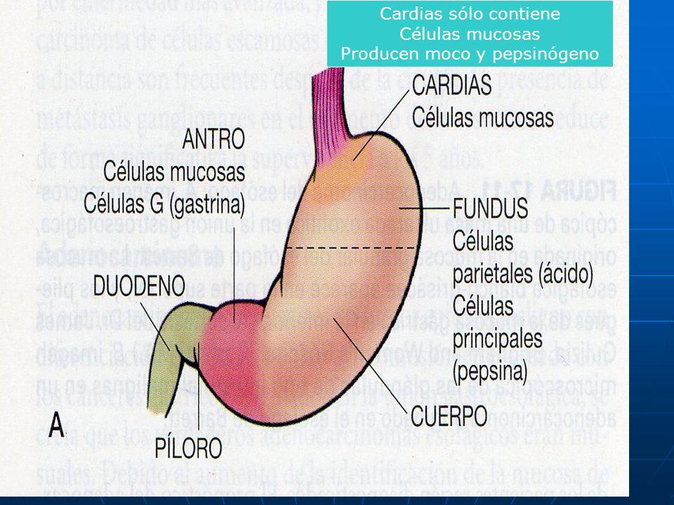 Cardias sólo contiene Células mucosas Producen moco y pepsinógeno