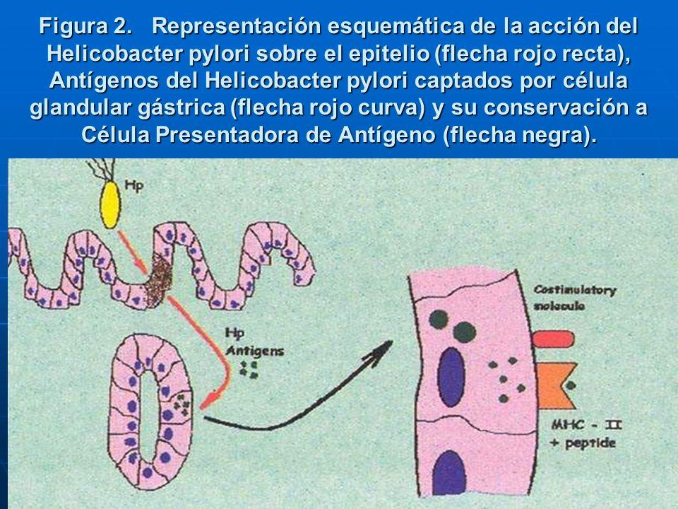 Figura 2. Representación esquemática de la acción del Helicobacter pylori sobre el epitelio (flecha rojo recta), Antígenos del Helicobacter pylori cap