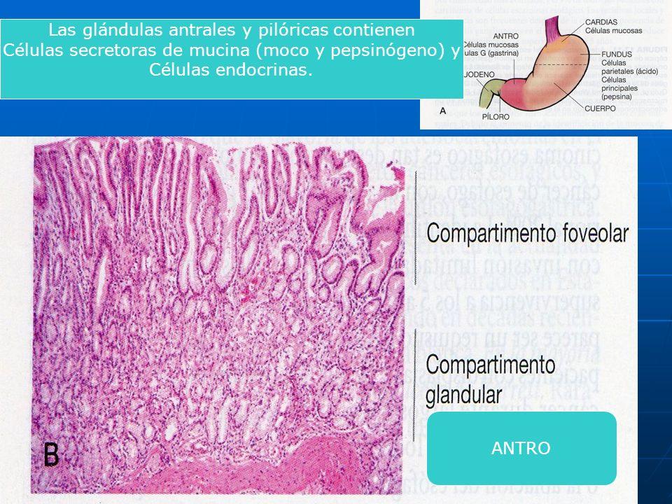 Las glándulas antrales y pilóricas contienen Células secretoras de mucina (moco y pepsinógeno) y Células endocrinas. ANTRO