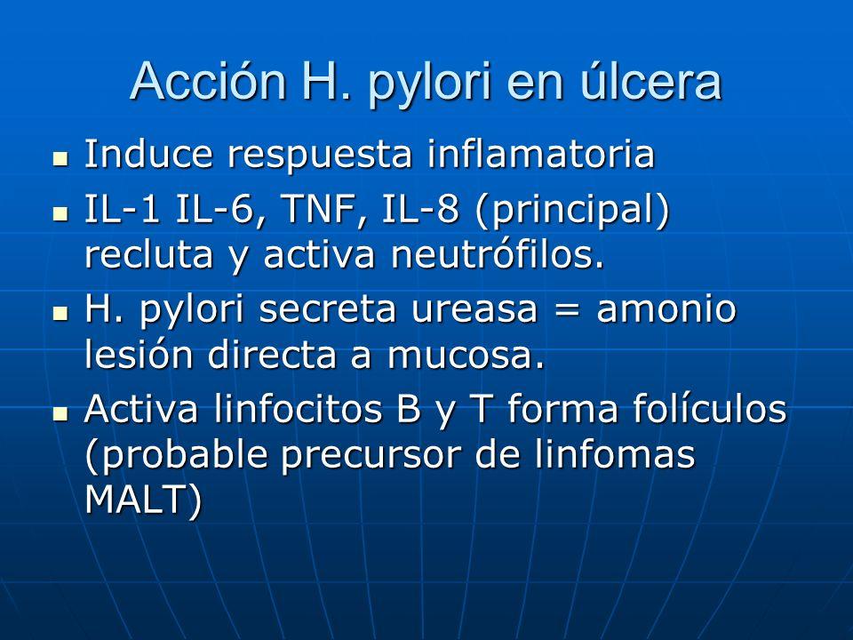 Acción H. pylori en úlcera Induce respuesta inflamatoria Induce respuesta inflamatoria IL-1 IL-6, TNF, IL-8 (principal) recluta y activa neutrófilos.