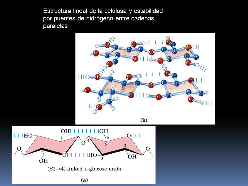 Estructura tridimensional de la amilopectina (80 % del polímero) El enlace a(1-6) produce ramificaciones responsables de la estructura abierta de la h