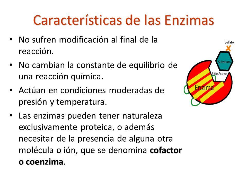 Características de las Enzimas No sufren modificación al final de la reacción. No cambian la constante de equilibrio de una reacción química. Actúan e